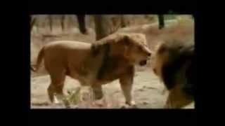 Lion Vs Tiger Fights