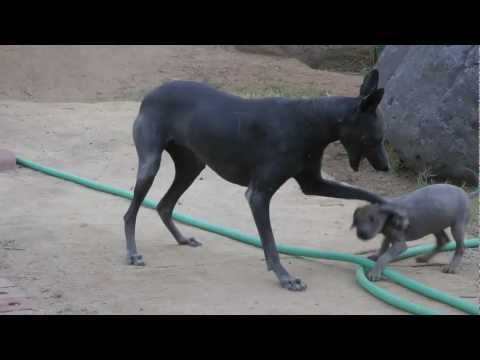 Squeekie & the New Pup ~ Hairless dogs playing ~ Xoloitzcuintli
