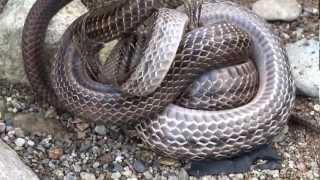 カエルを絞め殺すヘビ