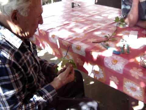 kalemljenje trešnje na rašeljku,nova sela