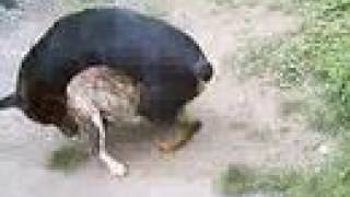 Rottweiler Vs Pit Bull, Brujo Vs Bali (jugando/playing