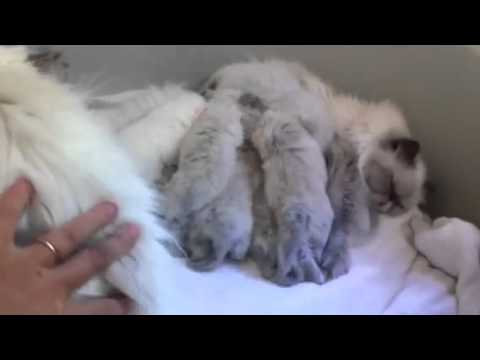 Himalayan kittens from Fluffy Charm cattery