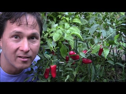 10 Reasons Why You Should Grow More Peppers and Less Tomatoes in Your Garden