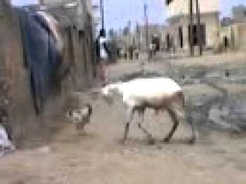 Combat de force entre un mouton et un coq incroiyable