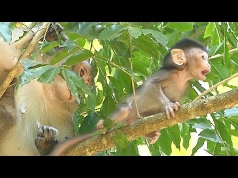 Mother Weaning No Milk Baby | Pity ALBA So Hungry Milk WALKING FIND FOOD ON TREE | Monkey Crying