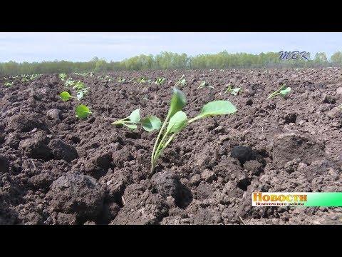 Тяжело сажать, нелегко продать. Овощеводы Искитимского района оказались в сложных условиях