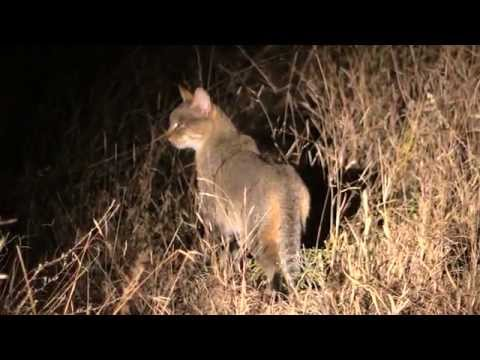 Beautiful Bush facts in the Klaserie  -  African Wild Cat
