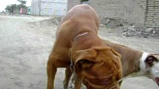 Pitbull Cruze Dogo De Burdeo
