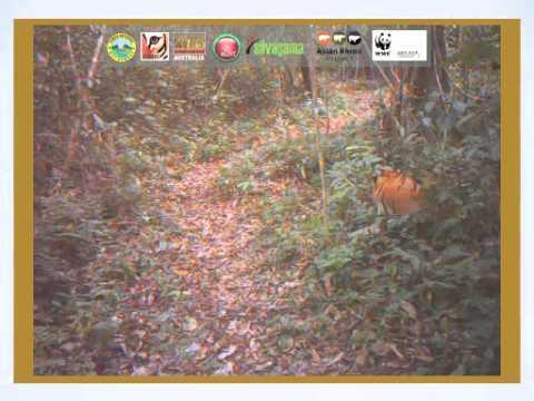 WK Tiger   Camera Trap