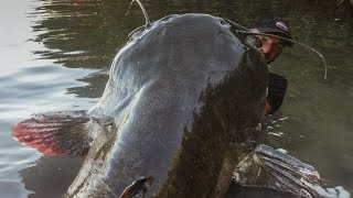 250lb. Monster Catfish Is Bigger Than Most People