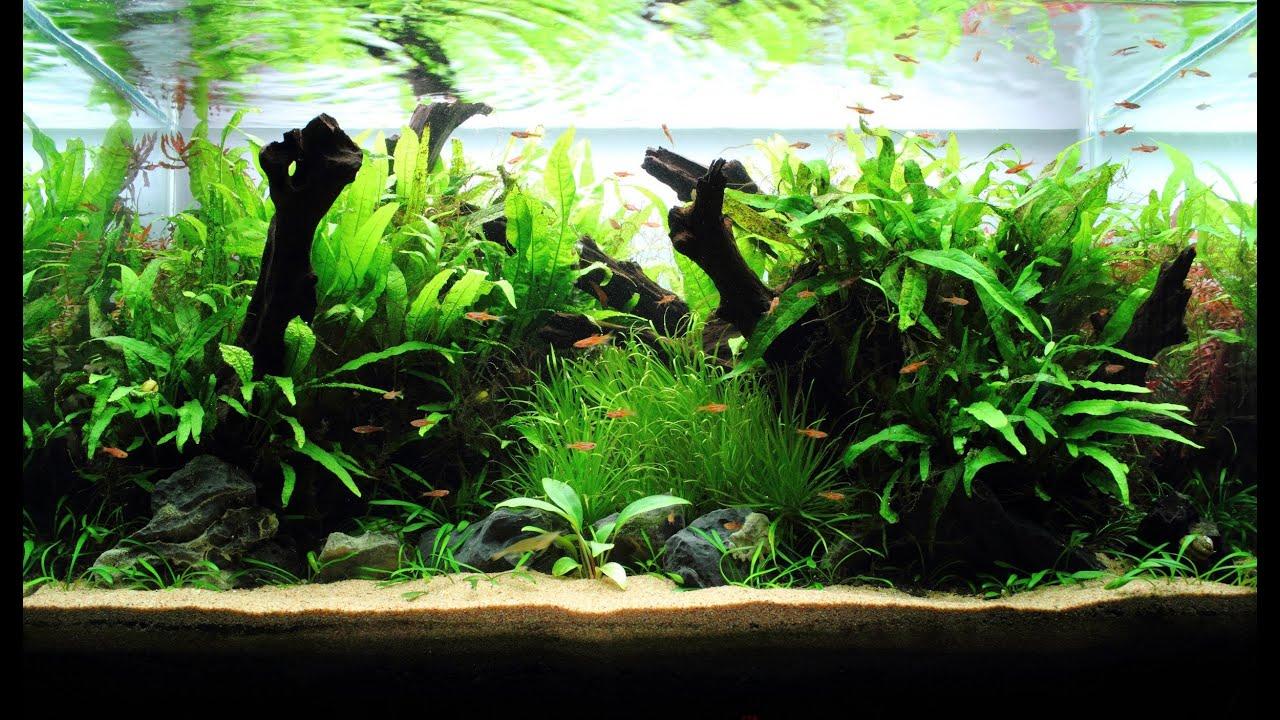 Freshwater Planted Aquarium - Little Pixie ? ??? - YouTube