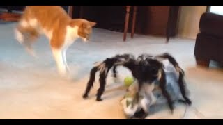 Jumping Spider vs Cat! Freakout!