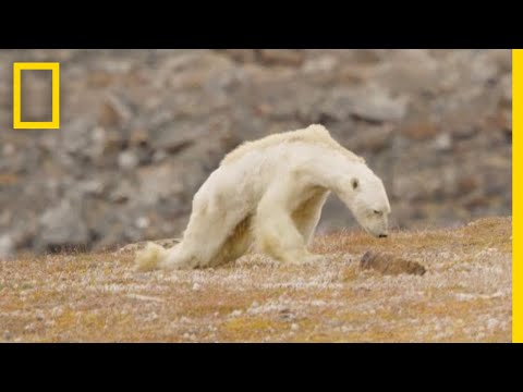 Polar Bear Starving