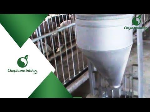 Mô hình chăn nuôi heo không cần dọn phân tại tỉnh Bình Dương