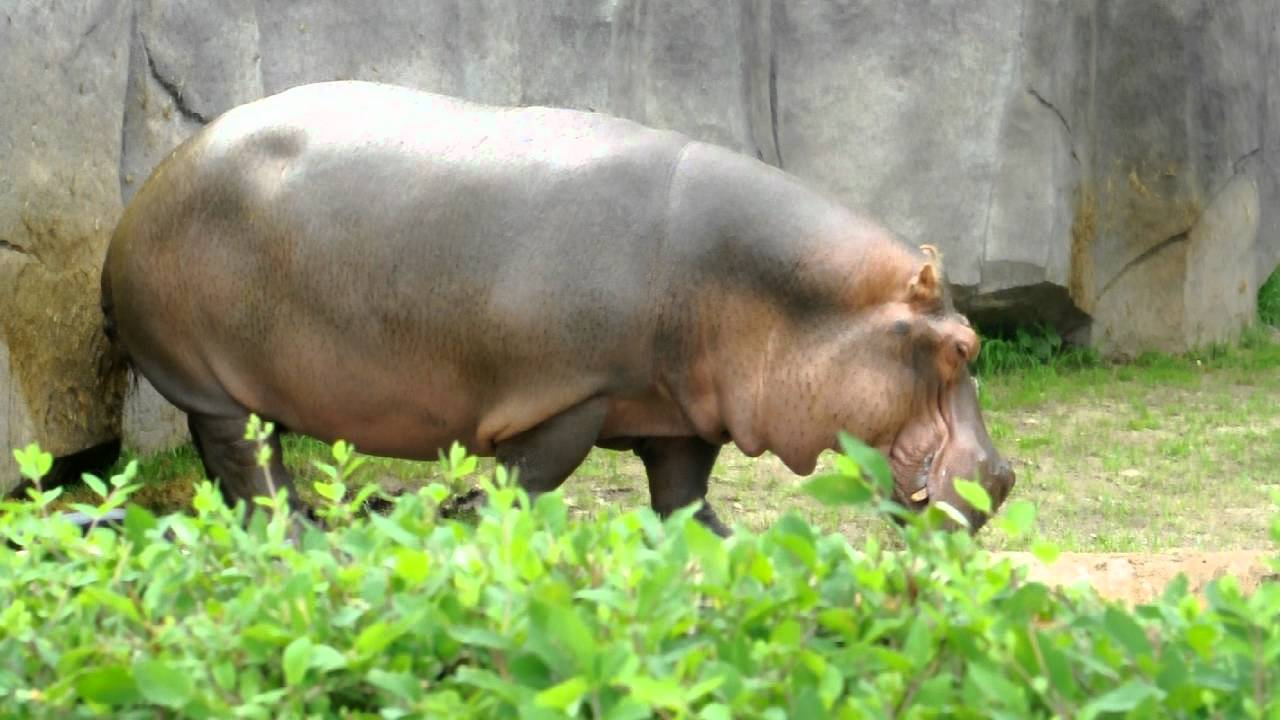 Hippo Explosive Diarrhea Hippo Pooper - YouTube
