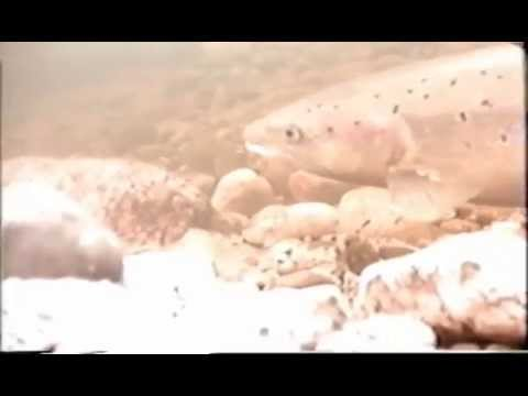 frai saumon 2009