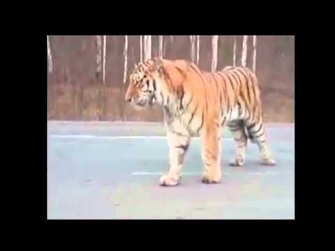 Tiger Roams City Streets