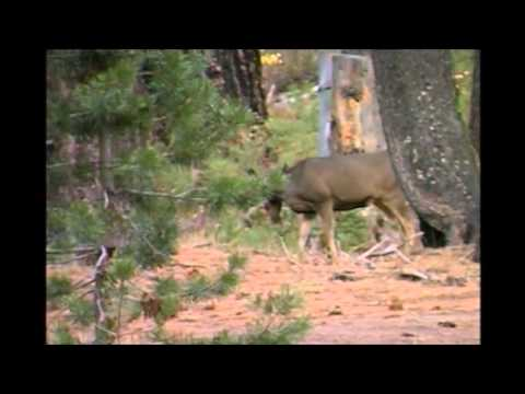 Nevada Mule Deer, Connecting With Wildlife Part 4
