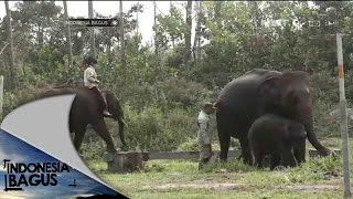 Indonesia Bagus Gajah Sumatera