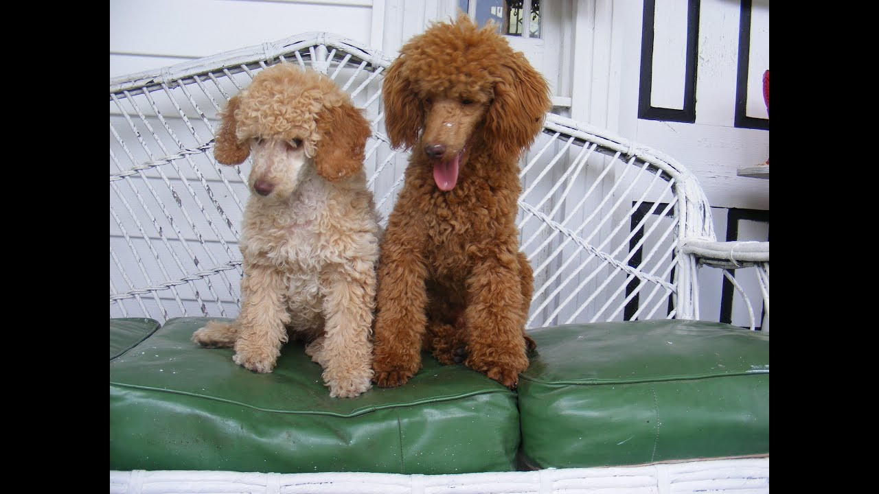 Displaying 19 gt  Images For - Apricot Standard Poodle Puppy Cut   Apricot Standard Poodle Puppy Cut