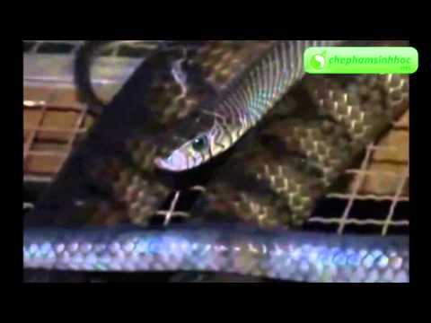 Mô hình nuôi rắn hổ hèo thành công mang lại nhiều lợi nhuận kinh tế