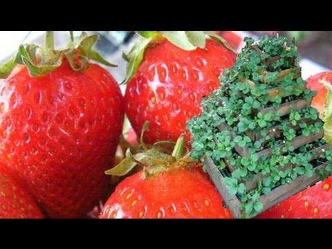 la culture facile des fraises biologique la fontaine fraises youtube. Black Bedroom Furniture Sets. Home Design Ideas