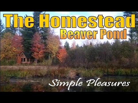 THE HOMESTEAD BEAVER POND.  Living And Working With Nature