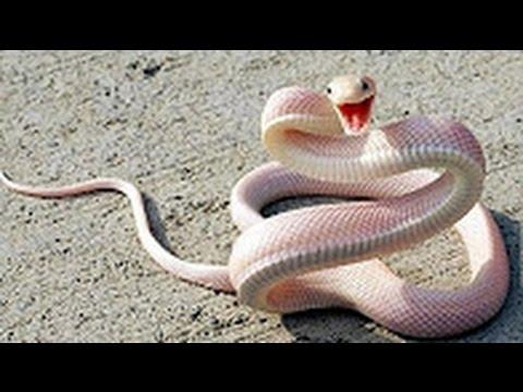 Rắn hỗ mang chúa - Những loài rắn độc nhất việt nam - Cận cảnh bắt rắn hổ mang.