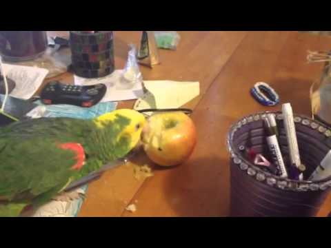Poco eating an apple