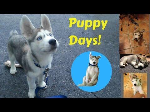 My husky As a Puppy! - Gohan's Puppy Days!