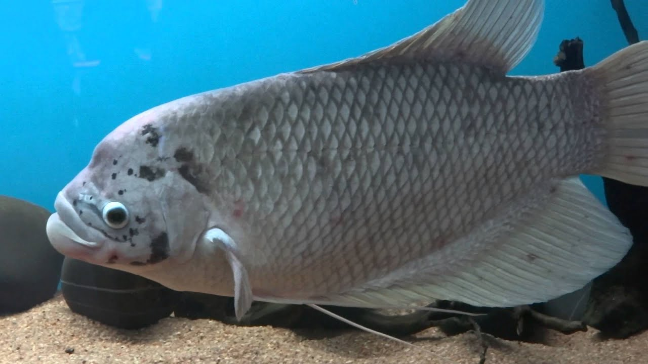 Giant gourami fish scientific name osphronemus goramy for Scientific name of fish