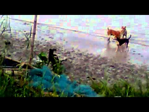 INDIAN FUNNY DOGS PLAYING BESIDE GANGA RIVER