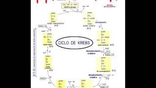Biología - Ciclo de Krebs