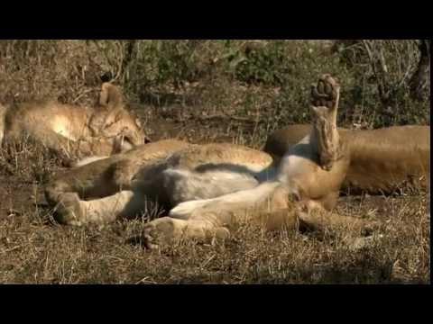 Vũ khí hủy diệt - Bầy đàn sư tử