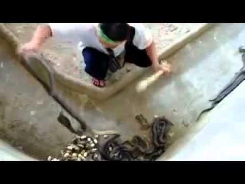Trang trại nuôi Rắn hổ mang OtoNhapkhau-DichvuCamdo-PhoHanoiTV-0938 542 542-BanxeVideo