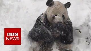 Oso Panda disfrutando de la nieve
