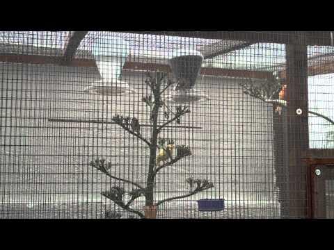 kenari lokal budidaya kenari f1 burung kanari terkenal sebagai burung