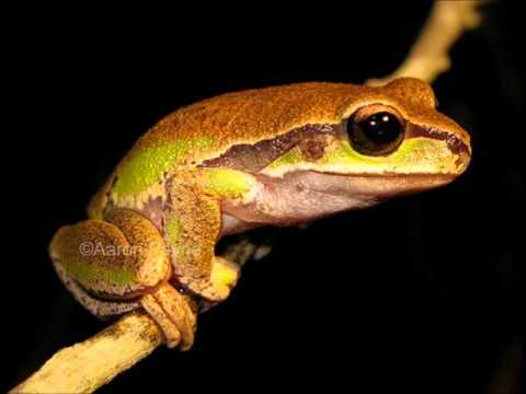 Tree frogs jamaica youtube