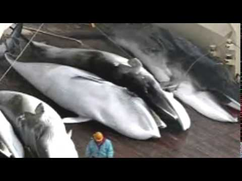 Japan KILLS 30 WHALES in First Campaign POST UN Ban
