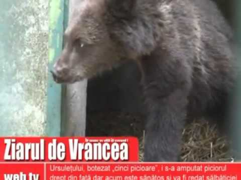 3 Legged Baby Bear Saved from Certain Death in Romania ! / Pui de urs salvat !