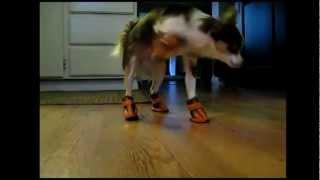Cachorros usando sapatos pela primeira vez