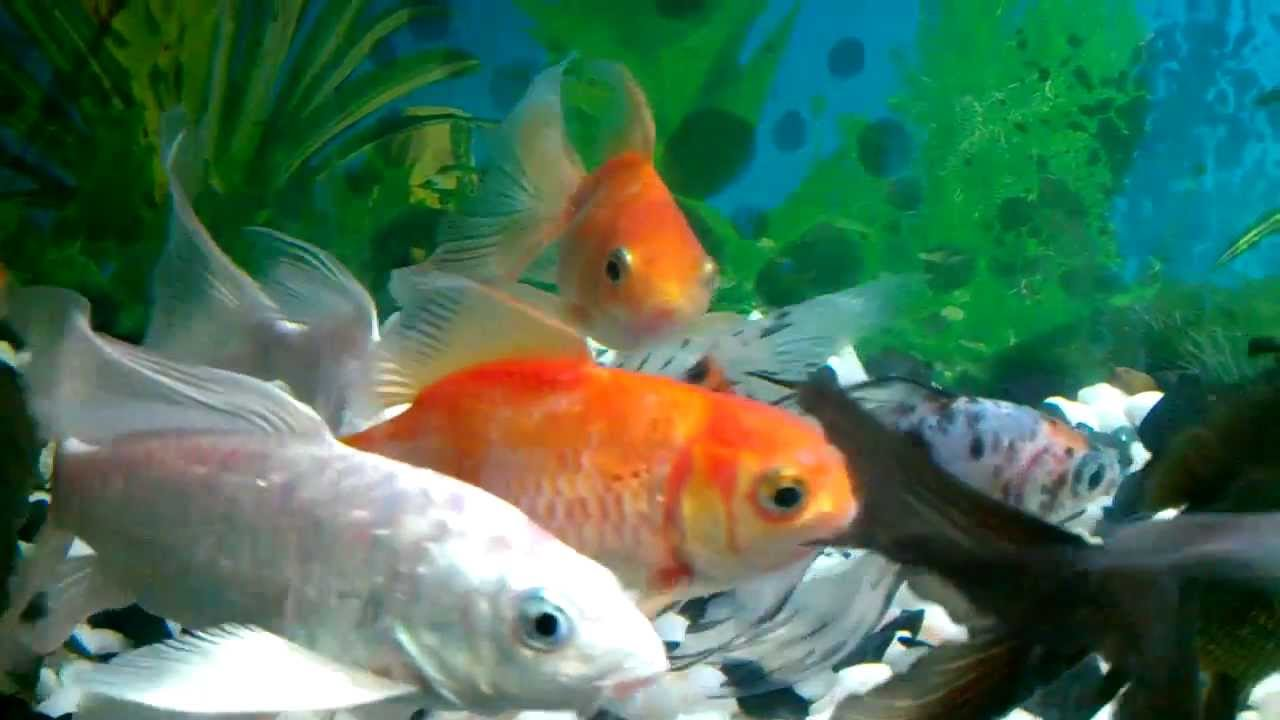 Shubunkin goldfish koi fish tank youtube for Koi fish aquarium