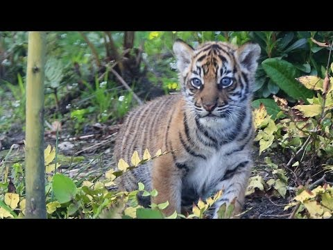 Tiger cubs explore outside for the first time