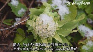 動画:春へ足踏み?フキノトウ雪化粧