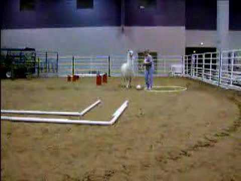 Llama agility run, Llama going through agility run at the Houston Livestock Show & Rodeo