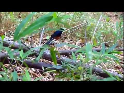 chim chich choe lua hot tu nhien trong rung