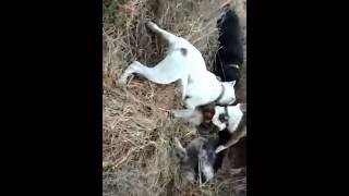 Pitbulls Matan A Un Perro