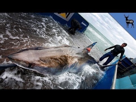 Great White Shark Crosses the Atlantic