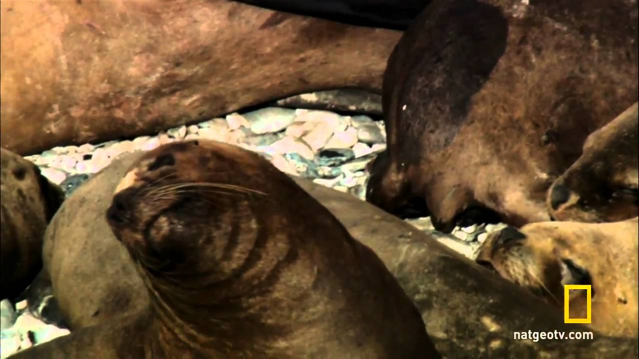 Sea lions mating - photo#23