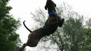 Rajah, The Amazing Flying American Pit Bull Terrier